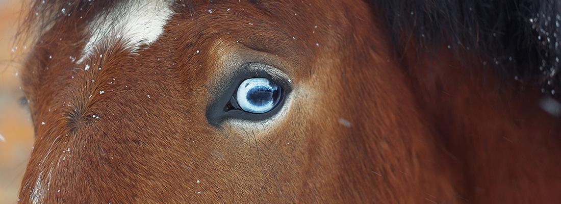 Blaue Pferdeaugen