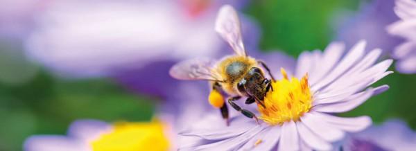 Bienen_Pflanzen_fullsize