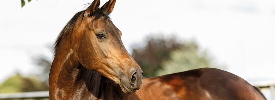 Pferdefarben Brauner