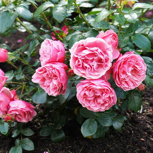 Rindenmulch Rosen
