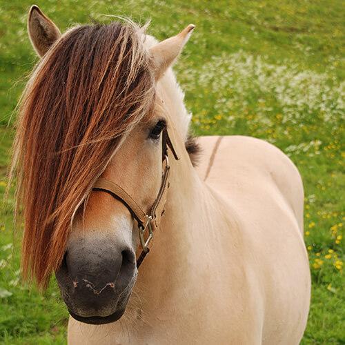 Pferdefarben Falbe