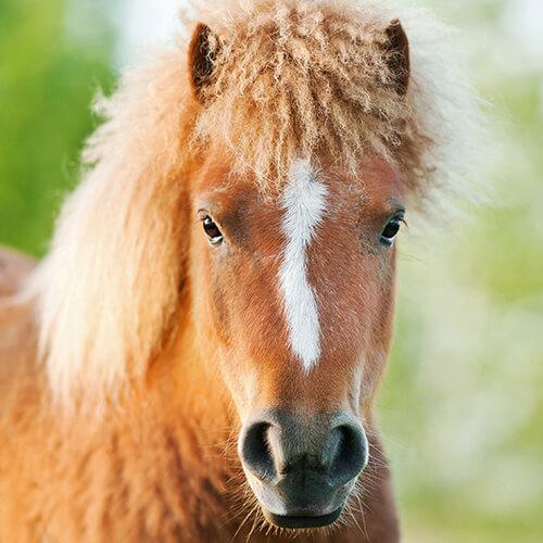 Curly Horses Porträt