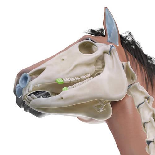Erste vordere Backenzähne Pferd