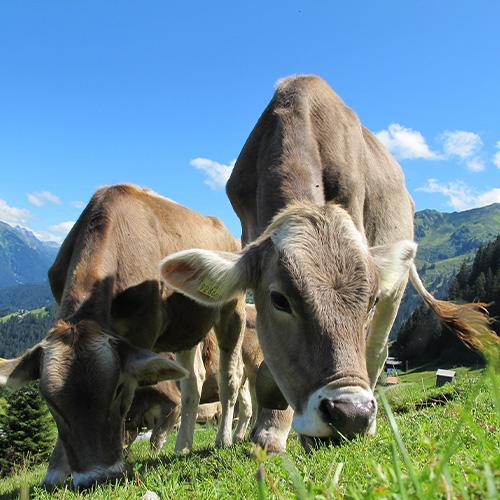 Salzleckstein für Nutztiere