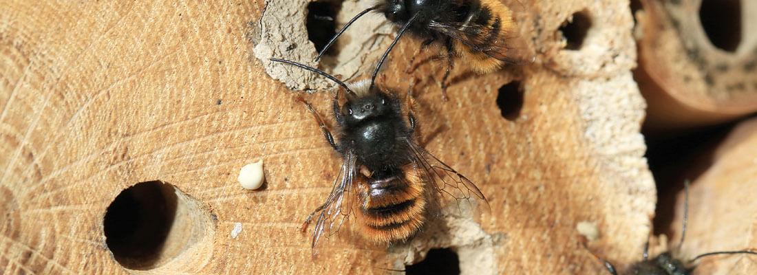 Bienen im Insektenhotel