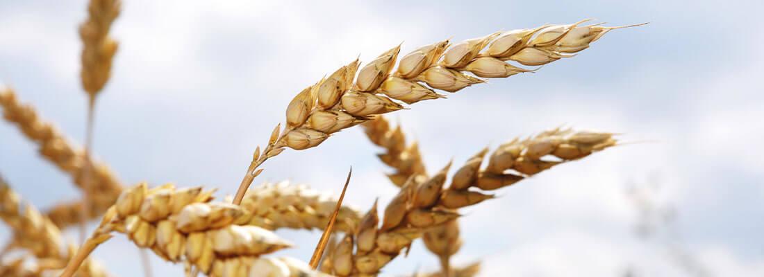 Biogene Brennstoffe Getreide