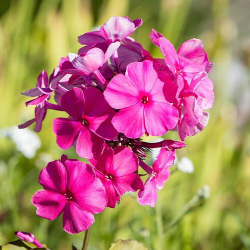 Blumenbeete Flammenblume