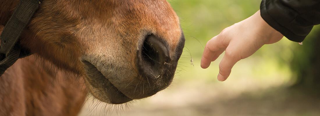 Pferdenase Nahaufnahme