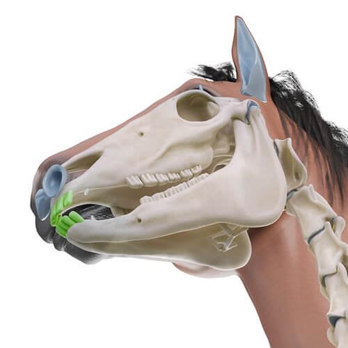 Schneidezähne Pferd